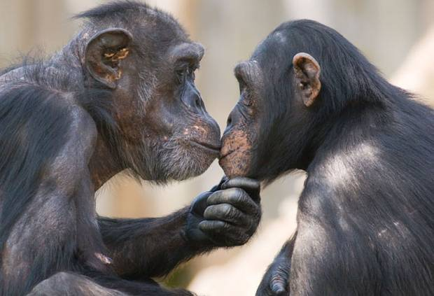 Pg-07-chimps-almay