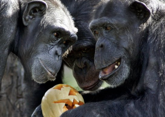 20140116_970125.xml-Chimpanzee+Bonding.JPEG-00ca6..jpg