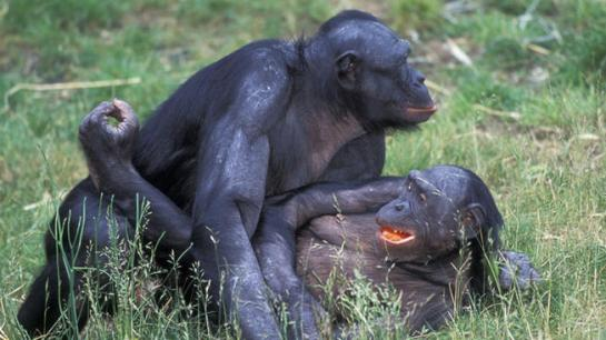 Bonobos1.jpg