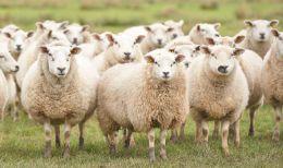 Las ovejas reconocen la cara deObama