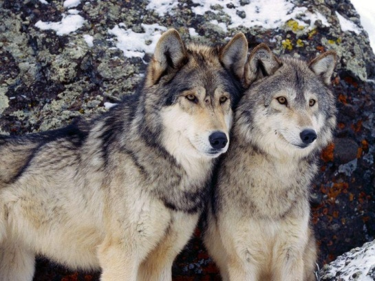 56d41df1edacce734cefb16f038c19ef--two-wolves-grey-wolves